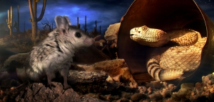 A__Scorpion_Mouse_and_a_Diamondback_Rattlesnake_in_Arizonas_Sonoran_desert_composite_image__Randall_Babb__BBC_2014