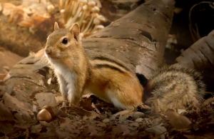 Chipmunk_in_Northern_Temperate_Forest_composite_image_BBC_2014