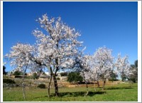 NATURE_Almendros_en_flor_-_XP